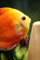 Diskusfische im Aquarium. Discus sind Fische aus der Gattung Symphysodon. Diskusfisch beim laichen