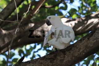 sulphur-crested cockatoo (Cacatua galerita),queensland australia