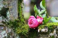Grab, Allerheiligen, Allerseelen, Rose, Friedhof, Textraum