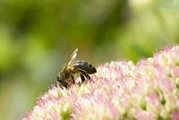 A close up shot of a honey bee on a sedum plant