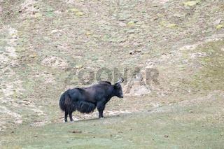 wild yak on plateau