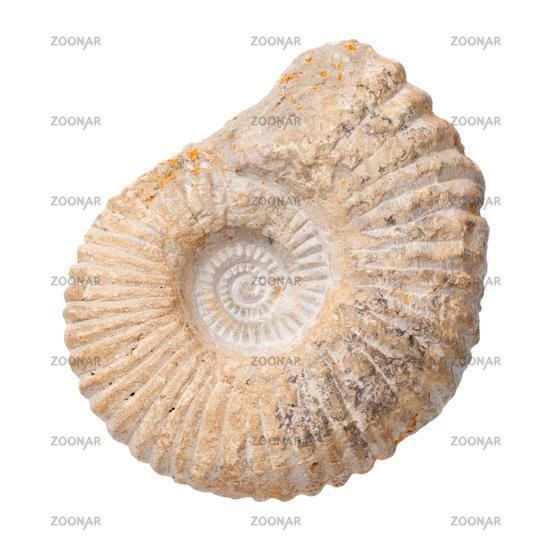 Ammonite Isolated On White Background