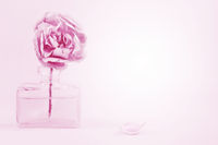 Pink rose in the vial