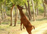 Sambhar deer, Rusa unicolor, Nagarhole National Park, Karnataka, India