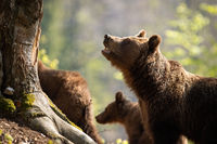 Brown bear with open mouth taking care of her two cubs