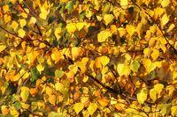 Blaetter der Birke im Herbst