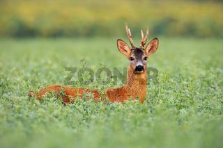 Roe deer buck in tall clover wet from dew