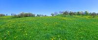 Panorama - Hügelige Wiese mit gelbem Löwenzahn