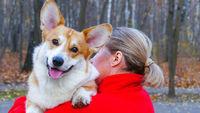 Corgi dog with adult woman close up face