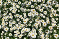 Blumenbeet mit vielen Margeriten von oben