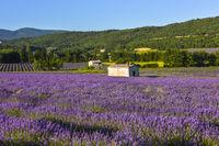 Blühendes Lavendelfeld in sanftem Abendlicht bei Sault