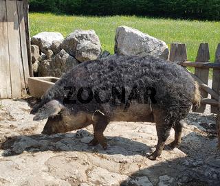 Wollschwein, Sus scrofa, Mangalica