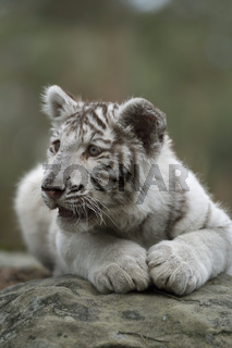 der Blick... Königstiger * Panthera tigris *
