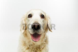 beautiful adult golden retriver dog on white background