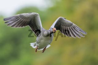 Graugans im Flug , Anser anser, Greylag Goose flying