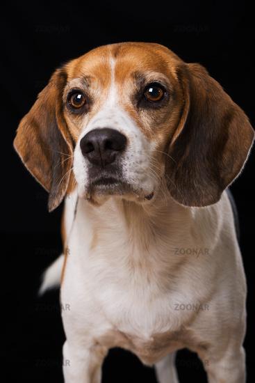 Adult beagle dog on black background