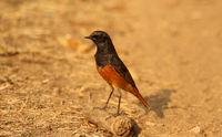 Black redstart, Phoenicurus ochruos, male, Pench National Park, Madhya Pradesh, India