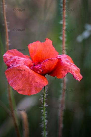 Mohnblume auf einer Wiese