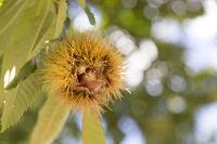Reife Esskastanien am Baum im Herbst