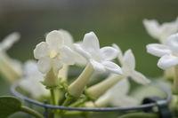 Stephanotis floribunda jasminoides Madagascar jasmine