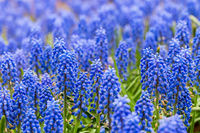 grape hyacinth closeup