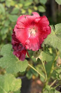 Stockrose, rot