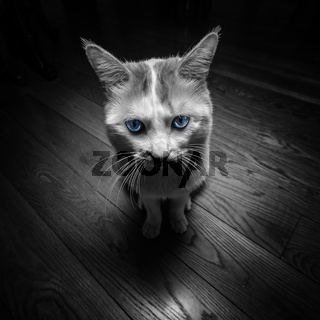 Black and White Tabby Cat with Bright Blue Eyes, Abstract Animal Housepet