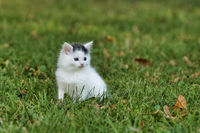 Little white kitten playing on the green grass