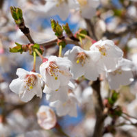Fuji cherry, Prunus incisa