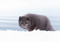 Blue morph arctic fox in snow