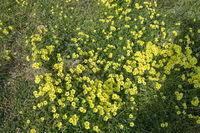 Yellow clover flowers Oxalis stricta