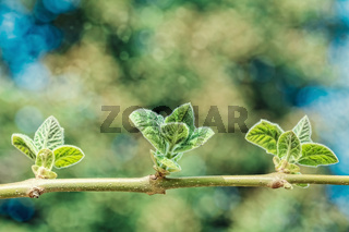 Young leaves on a branch