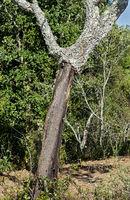Stamm einer teilweise geschälten Korkeiche (Quercus suber), Algarve, Portugal