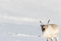 Beautiful Reindeer with big open space white snow in Svalbard, Norway