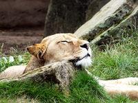 Löwe bei der Mittagsruhe