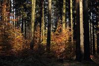 Junge Buchen im Fichtenwald