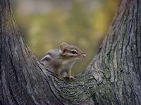 Chipmank on a tree