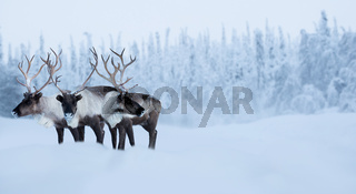 Big male deers in winter forest