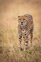 Cheetah walks through long grass towards camera