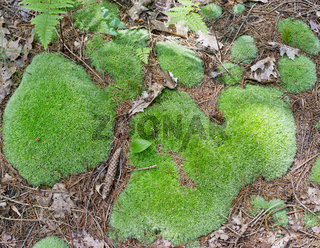 Beautiful green moss on the floor of forest