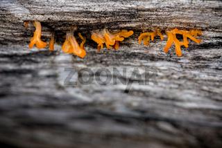 Macro exotic orange tiny fungi