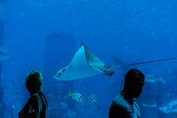 Schwimmende Roche im Aquarium, DUBAI