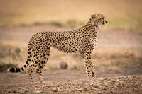 Cheetah stands on dirt track in profile