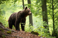 Curious brown bear observing the surroundings of the beautiful blooming forest