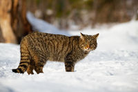 European wildcat and his penetrating look in the snowy forest