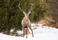 Red deer stag standing on snow with trees behind it