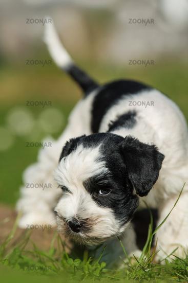 Toy snauzer dog in a meadow
