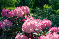 Blooming rhododendron in the garden