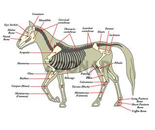 Skelett eines Pferdes mit den verschiedenen Knochen