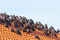 Jackdaws sitting in a flock on the roof